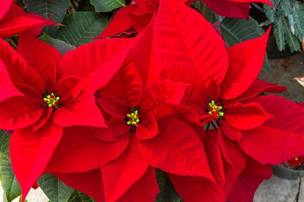 Christmas Planters and Poinsetta's